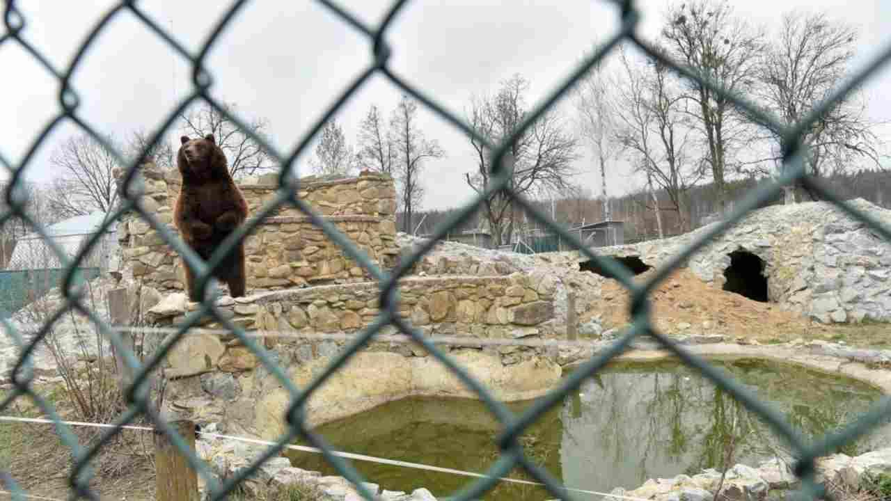 Mosca: un orso sbrana il suo domatore a causa della mascherina