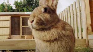 il coniglio più grande del mondo, darius, è stato rapito