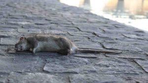 febbre del topo, primo contagio in italia, ecco i sintomi