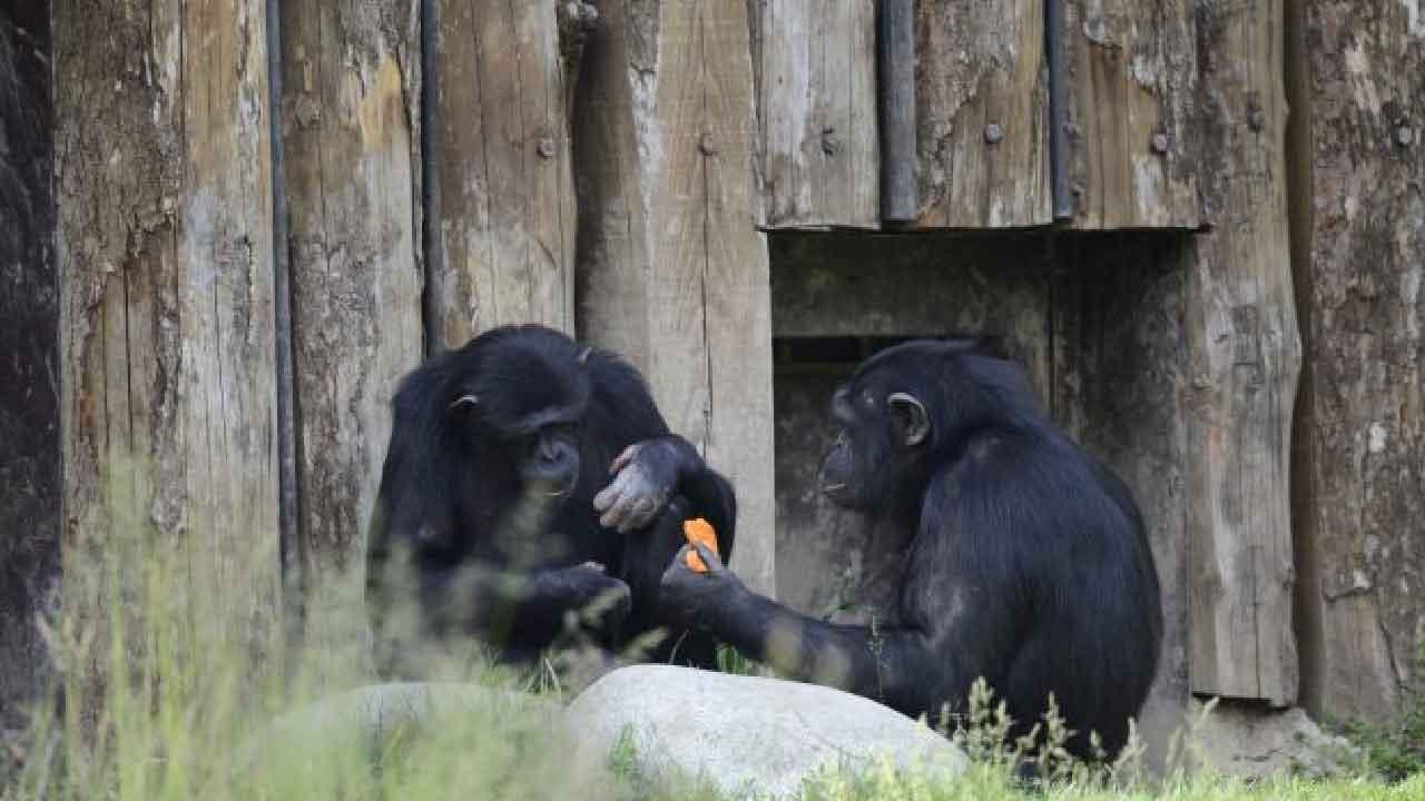 Judy, è morta la scimpanzè più longeva di tutta Europa (Foto dal web)